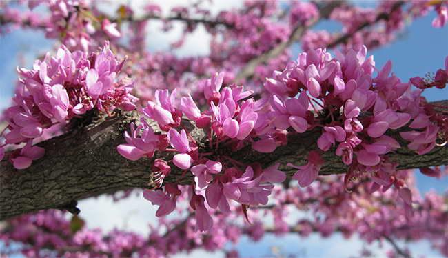Как цветет багряник канадский фото