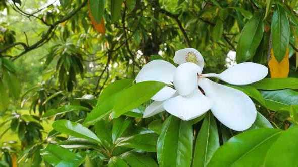 Как цветет фикус эластика фото