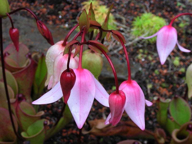 Как цветет гелиамфора фото