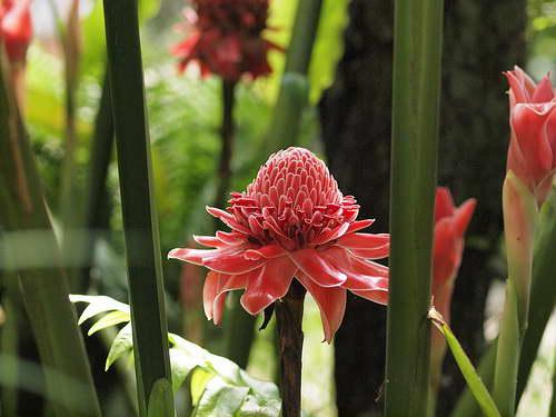 Как цветет имбирь фото
