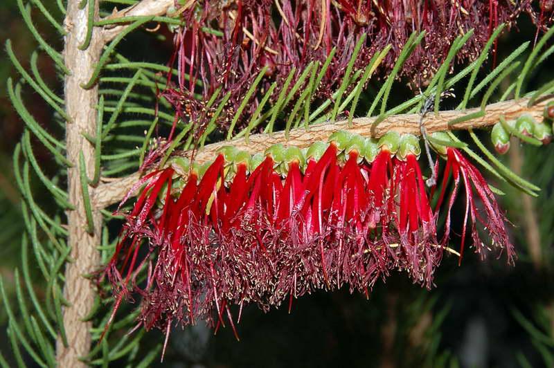 Как цветет калотамнус фото