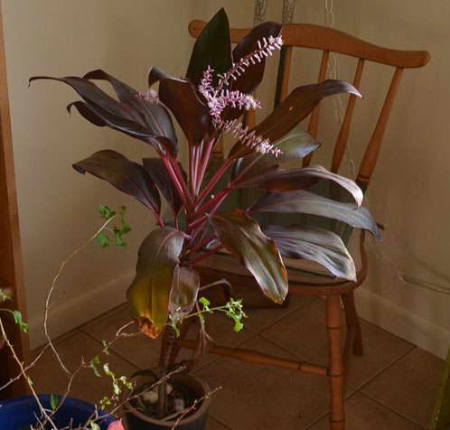 Как цветет кордилина фото