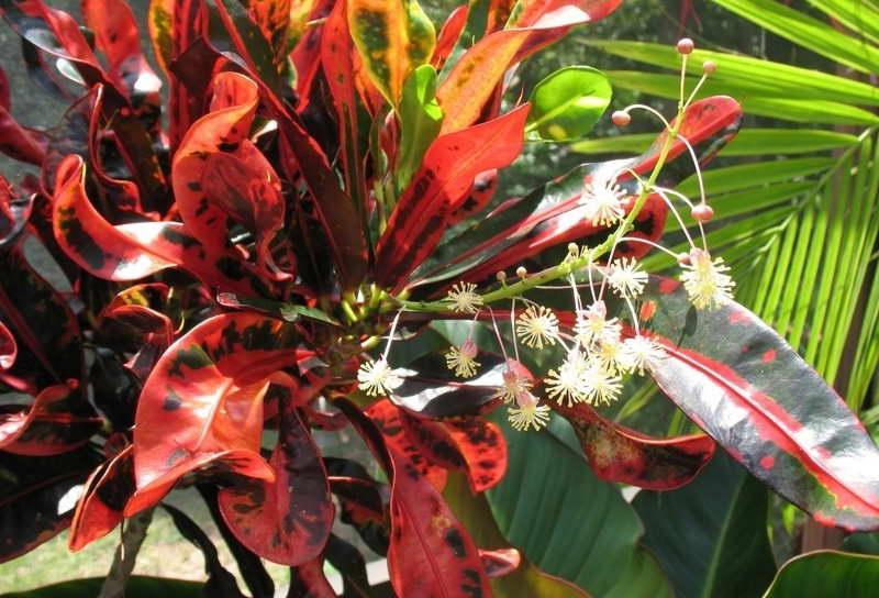 Как цветет кротон фото