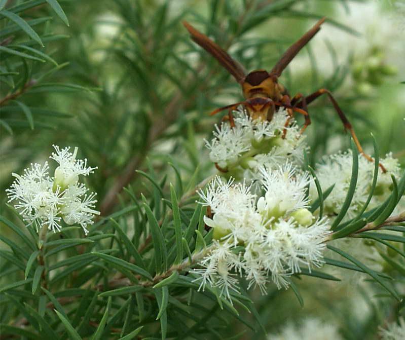 Как цветет мелалеука очереднолистная фото