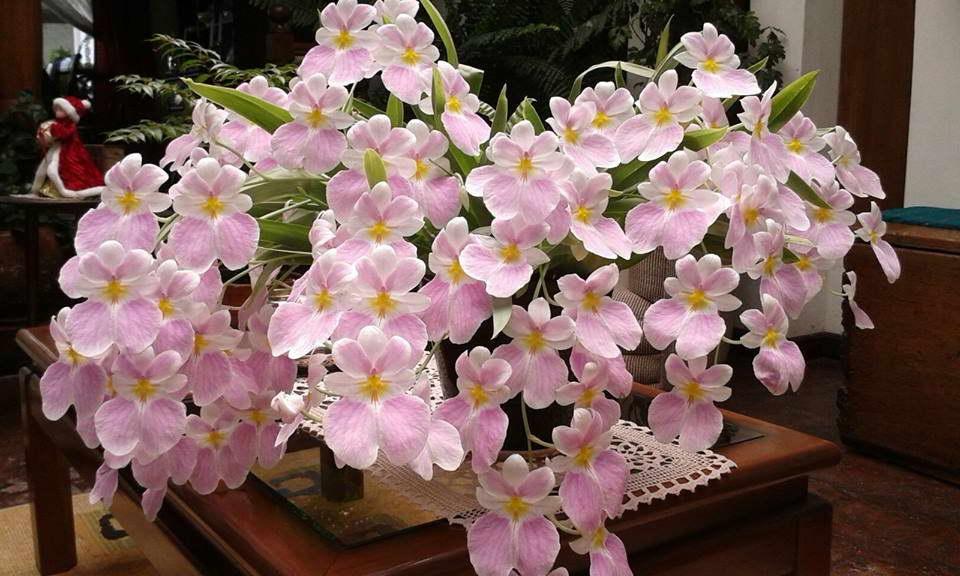 Как цветет мильтониопсис фото в домашних условиях