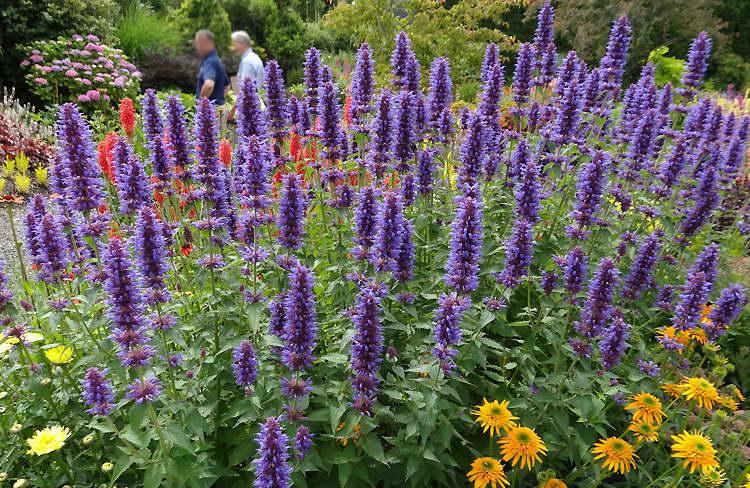 Как цветет многоколосник агастахе На фото сорт Agastache 'Blue Boa'