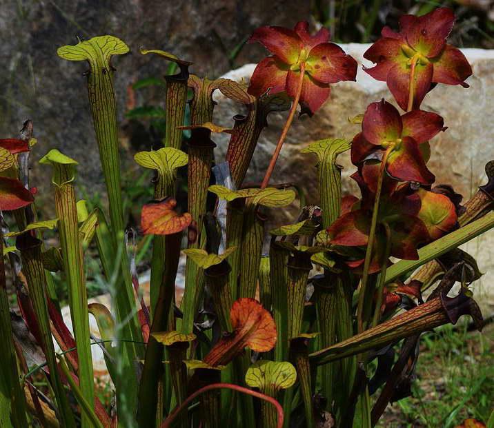 Как цветет непентес фото