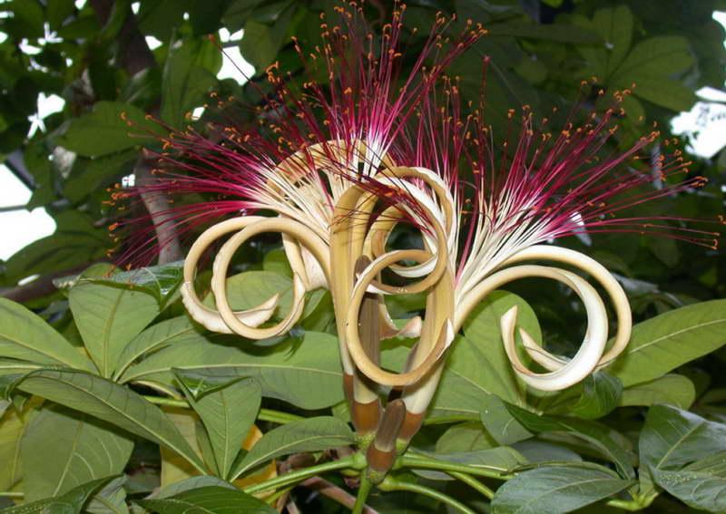 Как цветет пахира фото цветения