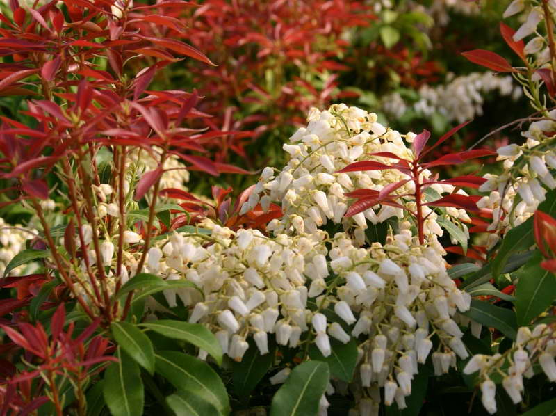 Как цветет пиерис На фото сорт Pieris Japonica Red Mill