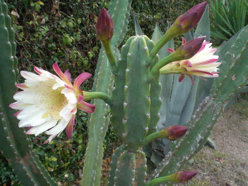 Как цветет цереус перуанский фото