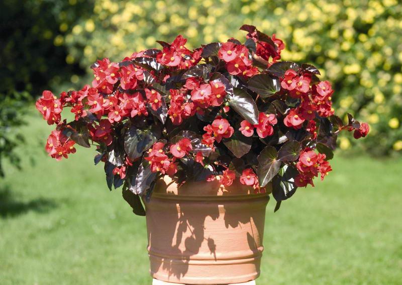 Как ухаживать за бегонией в домашних условиях На фото сорт Бегония бенариензис Begonia x benariensis