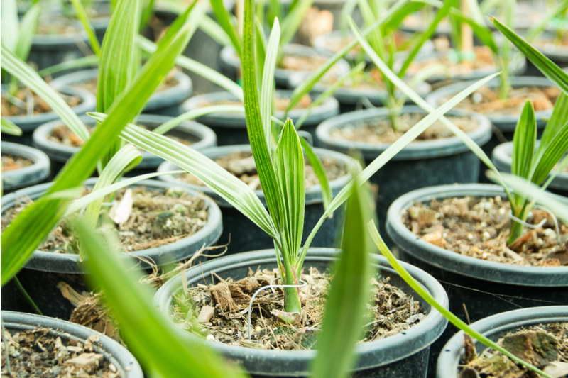 Как ухаживать за финиковой пальмой из косточки в домашних условиях