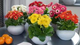 Как ухаживать за герберой в горшке Гербера комнатная и садовая выращивание