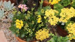 Как ухаживать за каланхоэ в домашних условиях как заставить цвести