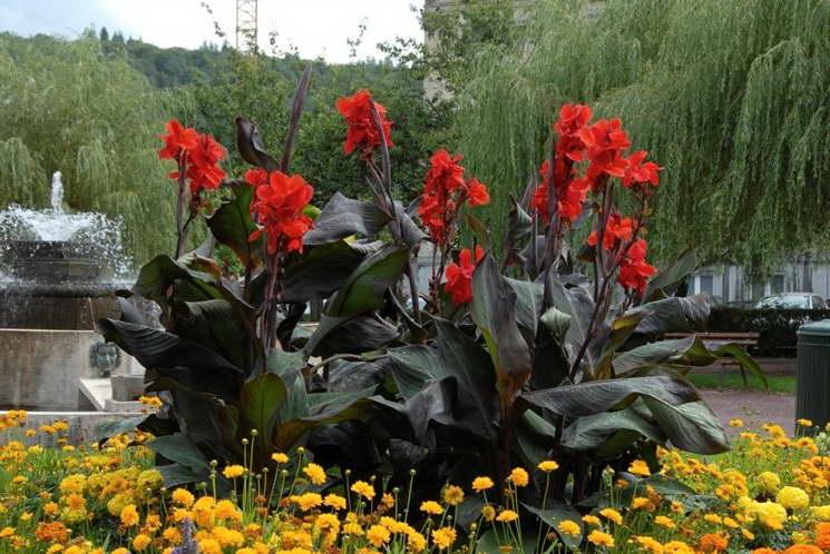 цветок канны фото