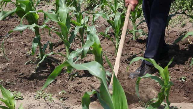 Как ухаживать за кукурузой в открытом грунте