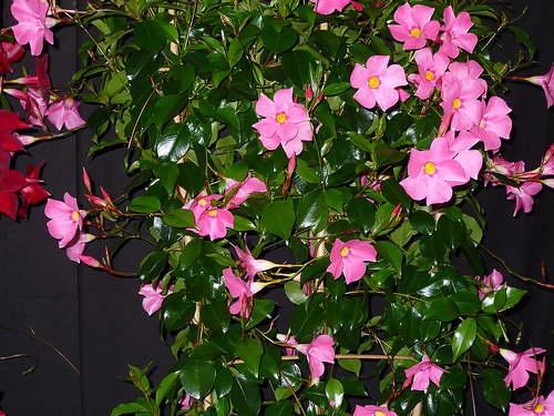 Как ухаживать за мандевиллой в домашних условиях фото цветов