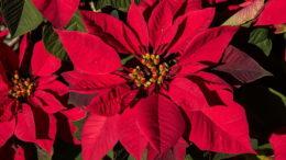 Как ухаживать за пуансетией Рождественская пуансетия размножение и уход фото