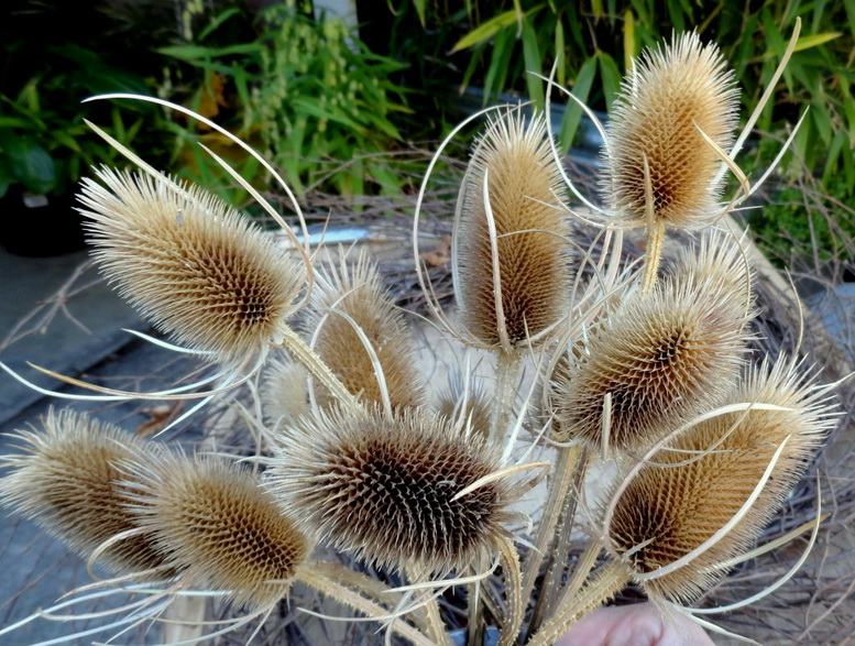 Как выглядит трава ворсянка или ворсовальная шишка фото