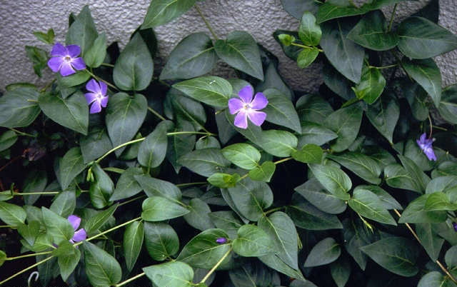 Как выглядит цветок барвинок фото