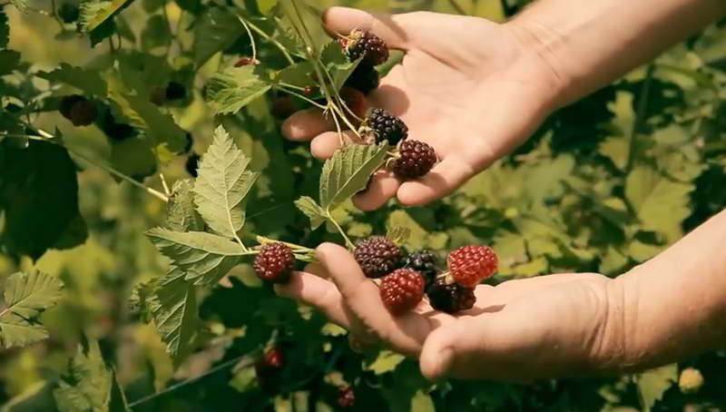 Как выглядят бойзеновы ягоды фото