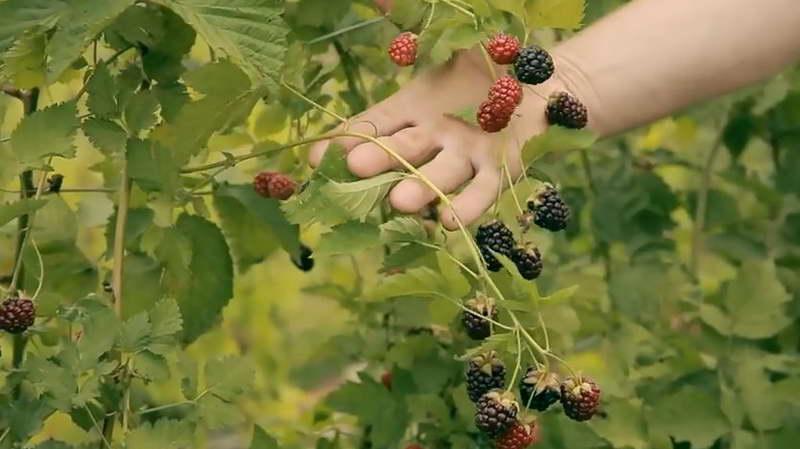 Как выращивать бойзеновы ягоды фото куста