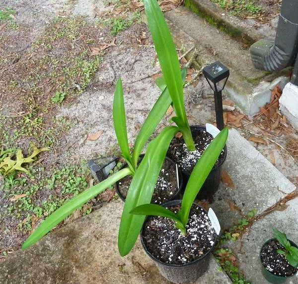 Как выращивать исмене в комнатных условиях Посадка луковиц в горшок