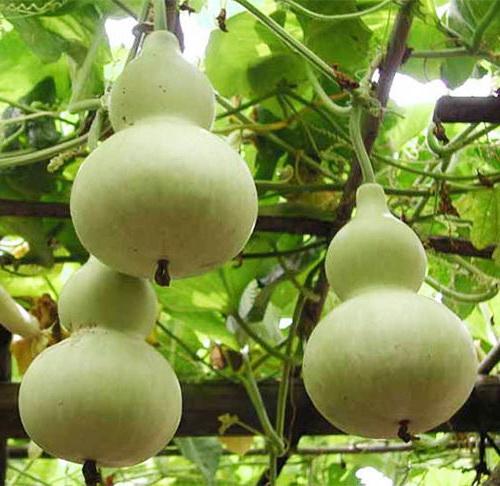 Как выращивать лагенарию
