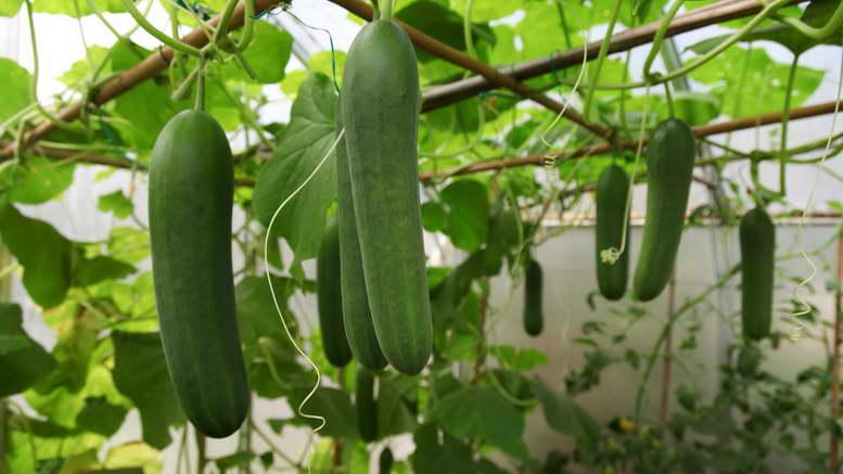 Как выращивать огурцы секреты овощевода