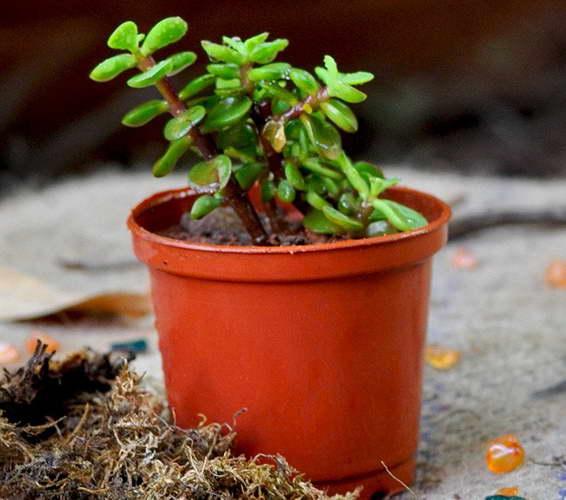 Как выращивать портулакарию в горшке