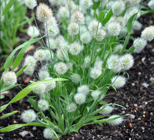 Как выращивать злак зайцехвост в открытом грунте