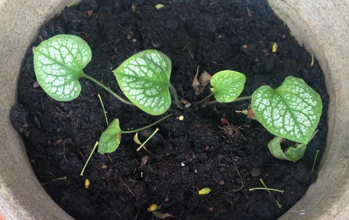 Как вырастить бруннеру из семян фото рассады