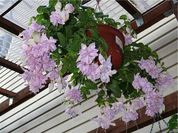 Как вырастить фуксию Фуксия ампельная Holly's Beauty фото цветения