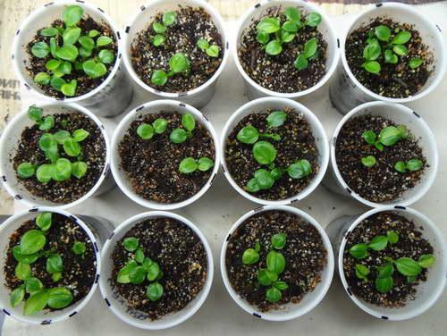 Как вырастить хосту из семян Фото всходов