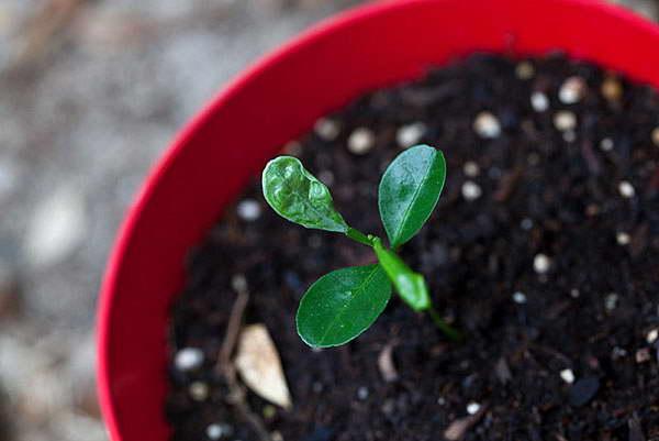 Как вырастить каламондин из косточки фото