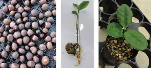 Как вырастить камелию семенами