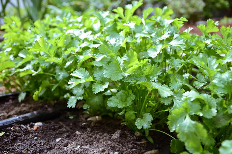 Как вырастить кинзу кориандр из семян Как ухаживать