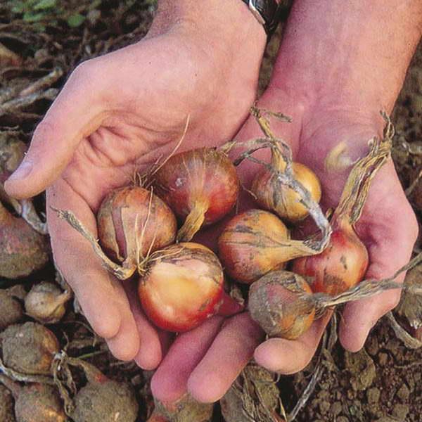 Как вырастить лук шалот из семян фото севка