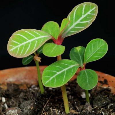 Как вырастить молочай из семян Эуфорбия из семян фото всходов