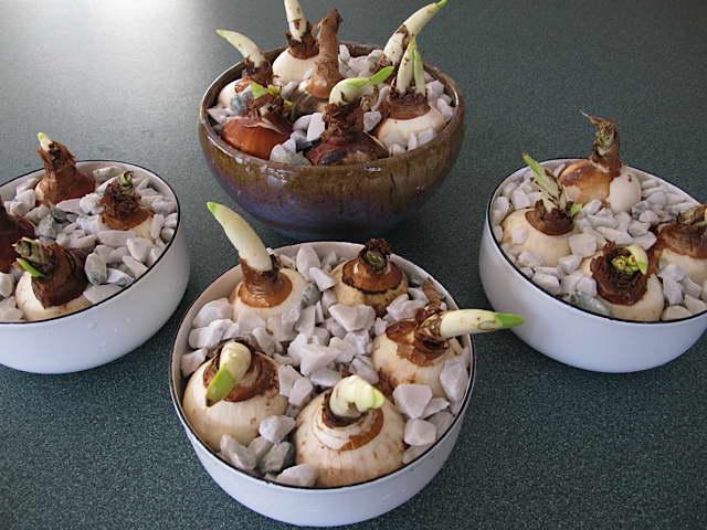 Как вырастить нарциссы в домашних условиях фото посаженных луковиц