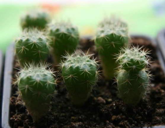 Как вырастить нотокактус из семян фото сеянцев