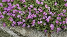 Как вырастить обриету Цветы обриета посадка и уход фото