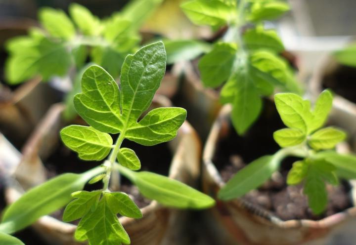 Как вырастить рассаду томата Столыпин
