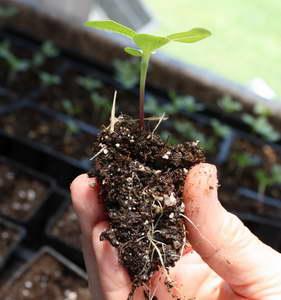 Как вырастить санвиталию из семян на рассаду фото
