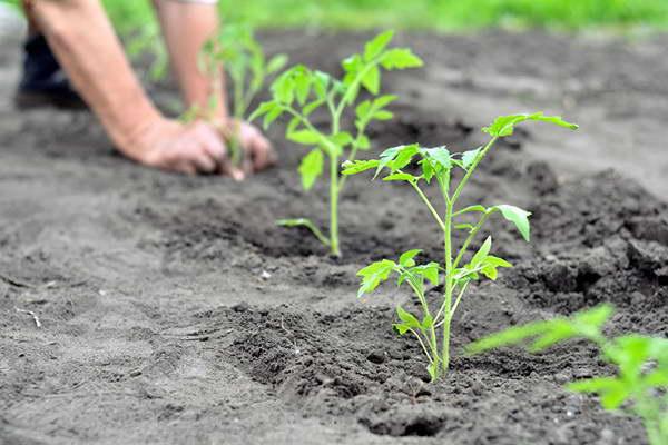 Как высадить рассаду томата Столыпин фото