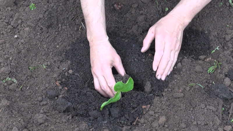 Как высадить рассаду тыквы фото