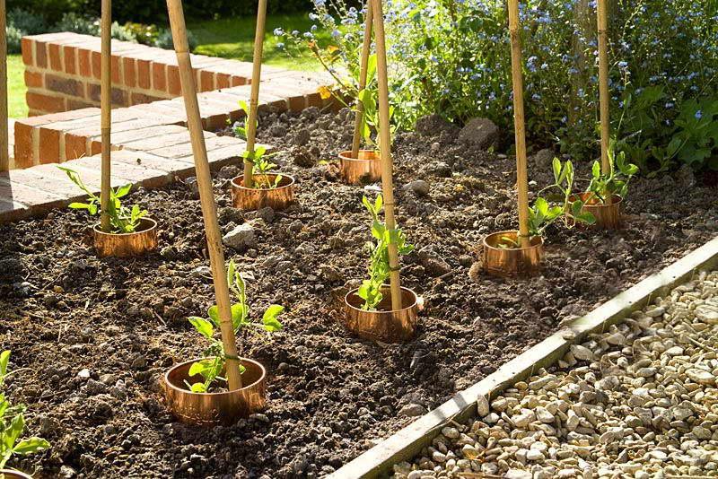 Как высаживать душистый горошек в сад фото