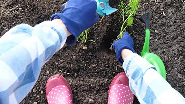 Как высаживать рассаду фенхеля в грунт фото