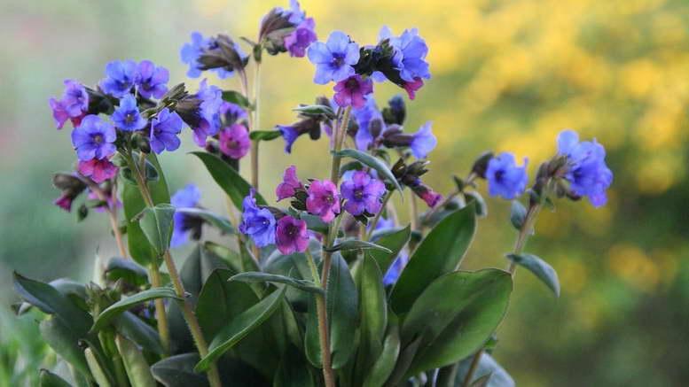 Какие цветы синего цвета можно посадить в саду На фото: медуница лекарственная