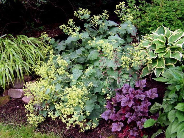 Какие цветы сочетаются с хостами Гейхера и хоста фото миксбордера